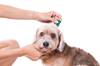 How to Control Dog Flea? Dog Ticks and Fleas Control, Removal, Treatment, and More