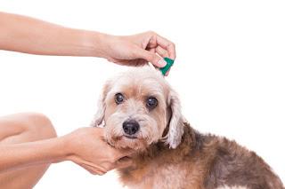 Comment contrôler les puces de chien? Contrôle des tiques et des puces de chien, enlèvement, traitement, et plus