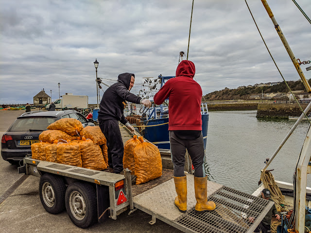 Photo of a closer view of the whelks being unloaded