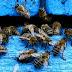 Νέες μελέτες επιβεβαιώνουν τους φόβους για τις επιπτώσεις των νεονικοτινοειδών εντομοκτόνων στους πληθυσμούς των μελισσών.