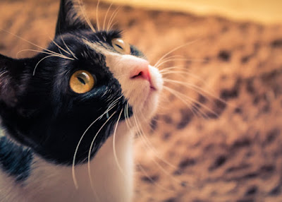 A close up photo of a black and white cat