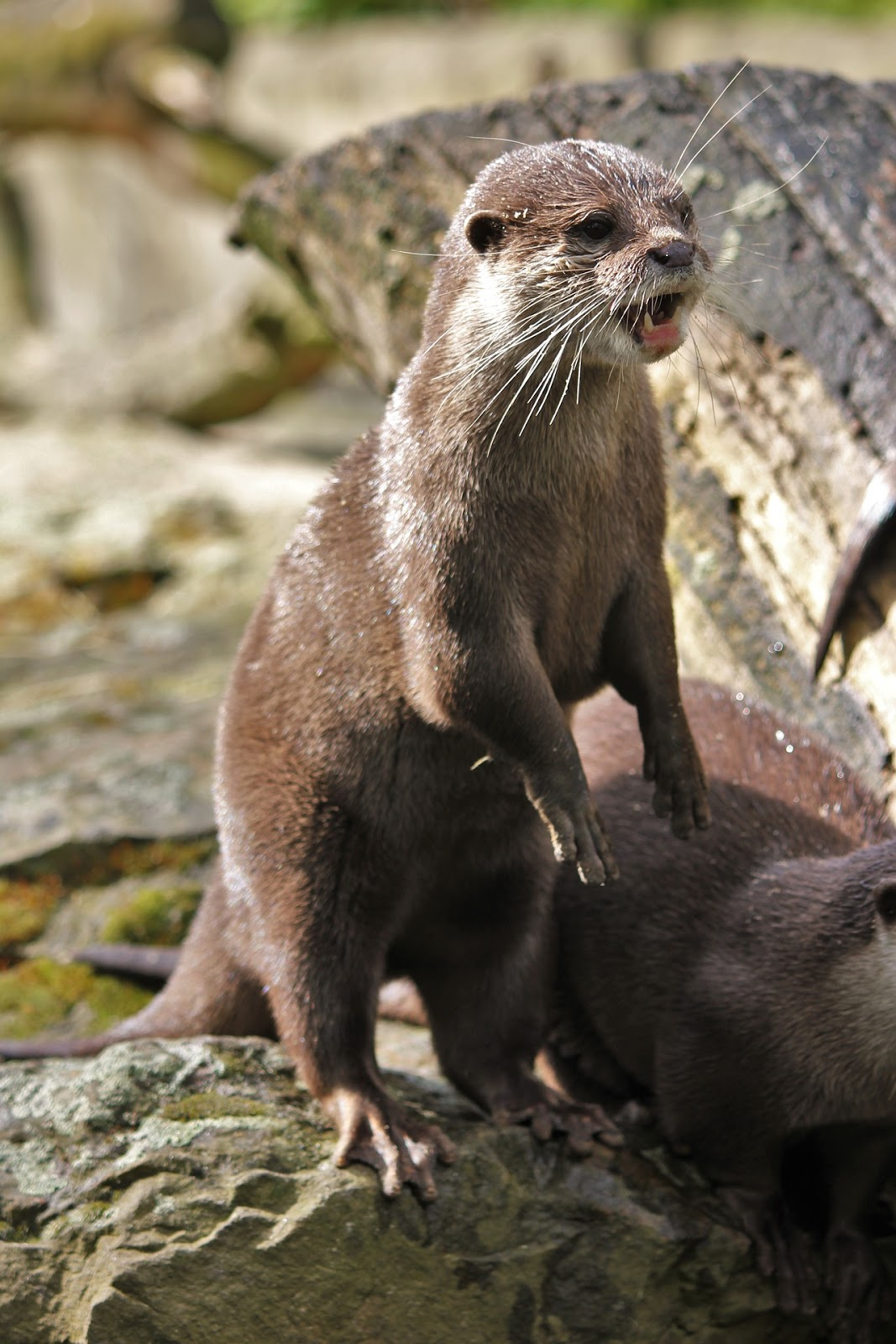 Picture of an expressive otter.