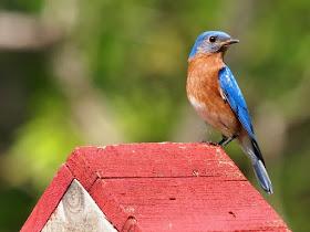 Photo of an Eastern Bluebird on a nest box