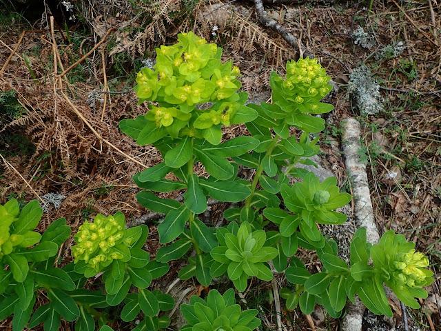 Euphorbia insularis