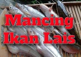 cara mancing ikan lais supaya dapat banyak