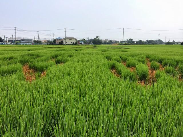 こしがや田んぼアート2014南越谷阿波踊り(8/17)