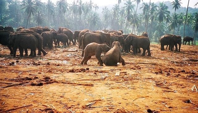 Pinnawala Elephant Orphanage,Sri Lanka