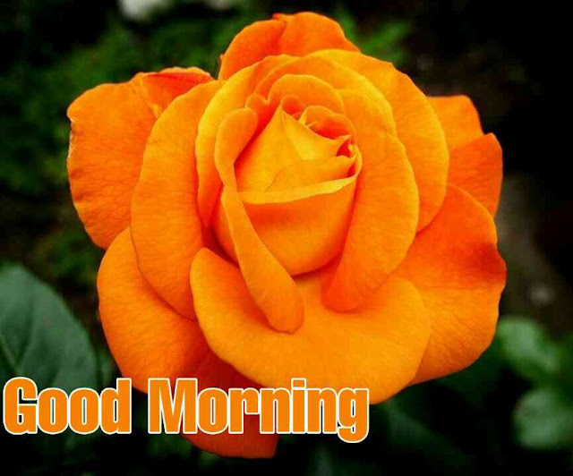 Awesome very good morning image with orange rose flower