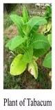 tabacum 200 use