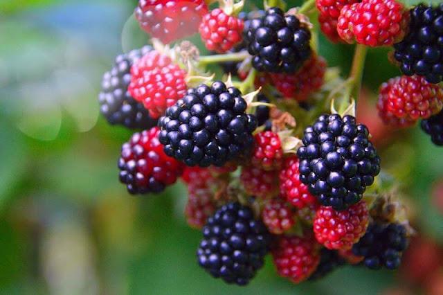 panen blackberry