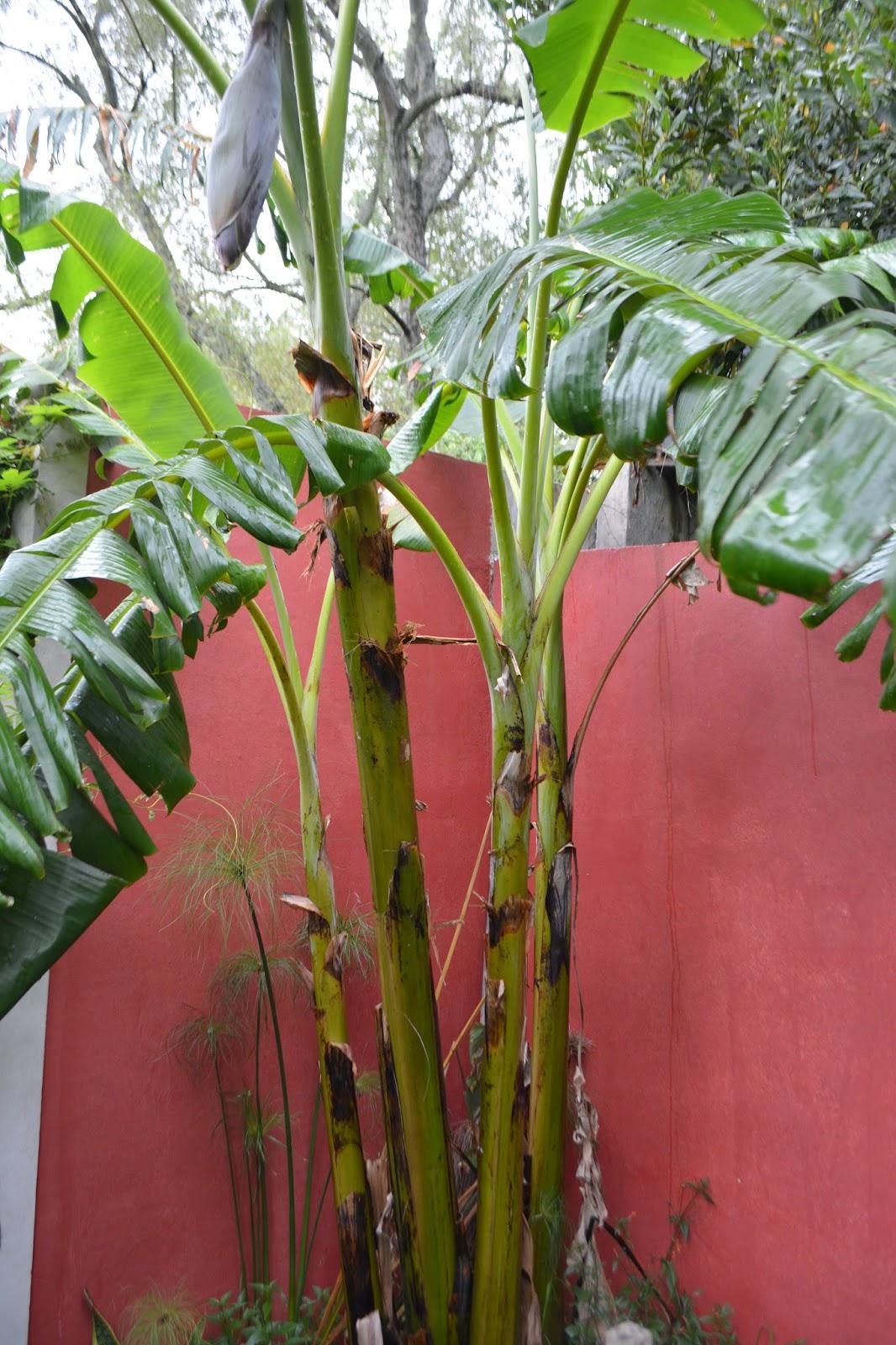 Banano formando frutos