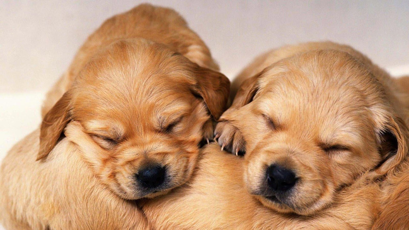 Cute Golden Retriever Puppies Wallpaper Image Free Hd Wallpaper