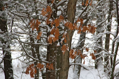 some oaks hold their leaves all Winter