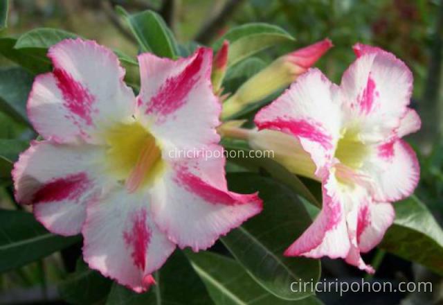 Ciri Ciri Pohon Bonsai Adenium Arbicum