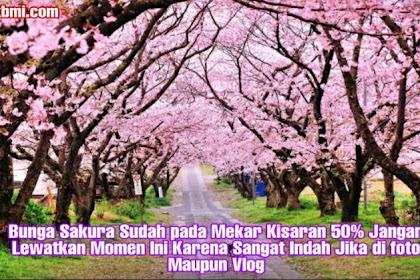 Bunga Sakura Sudah pada Mekar Kisaran 50% Jangan Lewatkan Momen Ini Karena Sangat Indah Jika di foto Maupun Vlog