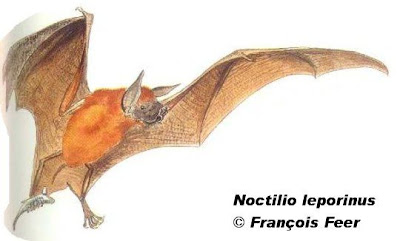 Murciélago pescador grande Noctilio leporinus