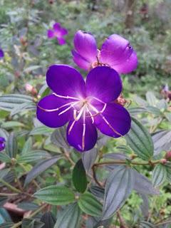 Hình ảnh hoa mua sim thái