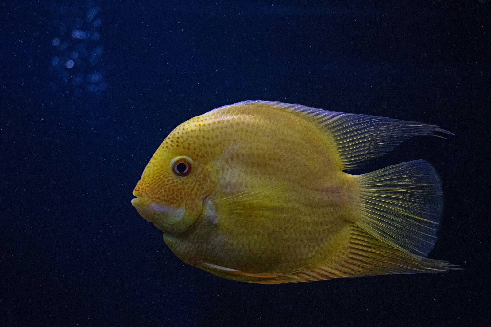 yellow-fish-in-close-up-photography-images