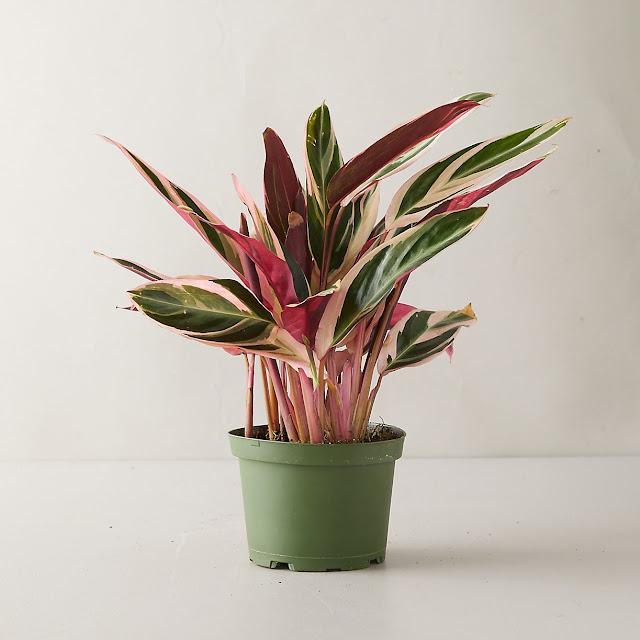 Tricolor Stromanthe Plant from Terranium