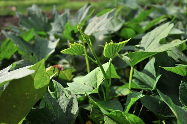 Mở rộng diện tích trồng rau lang cho thỏ, gà ăn. Còn mình thì ăn đọt rau lang