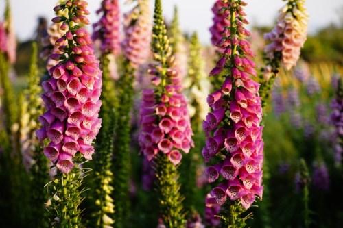 Tanaman bunga Foxglove yang bisa membunuh