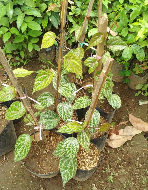 Bibit tanaman sirih merah Sumatra Utara