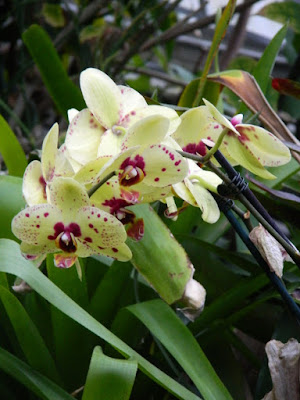 Phalaenopsis Harlequin Moth Orchid at the Centennial Park Conservatory by garden muses-not another Toronto gardening blog