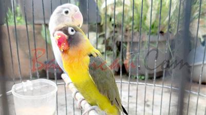 menjodohkan, burung, Lovebird