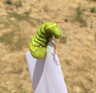 Battling Tomato Hornworms