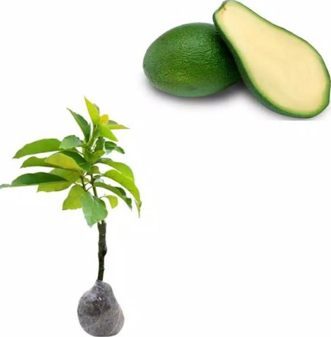 Jaminan Mutu! bibit buah tanaman alpukat tanpa biji Kota Bogor #bibit buah genjah