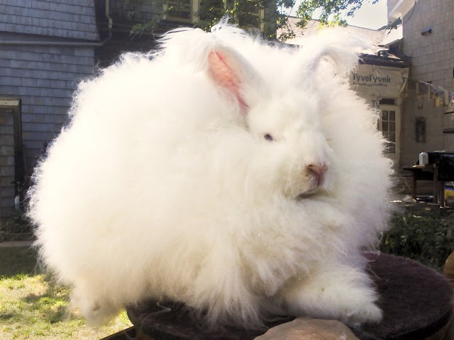 Angora Rabbits Breeding Guide: Angora Rabbit Care and Wellbeing