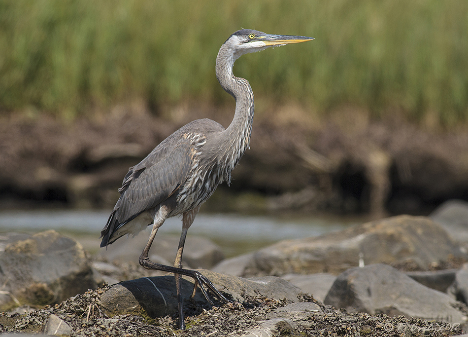 Photographing Juvenile Great Blue Heron >> South Shore Birder Close Up Juvenile Great Blue Heron