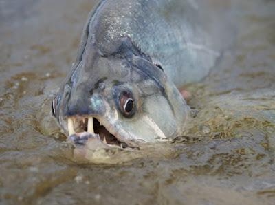 Habitat Ikan Payara