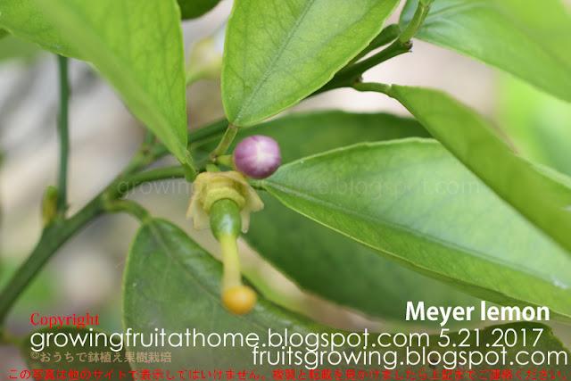 マイヤーレモンの受粉後の果実