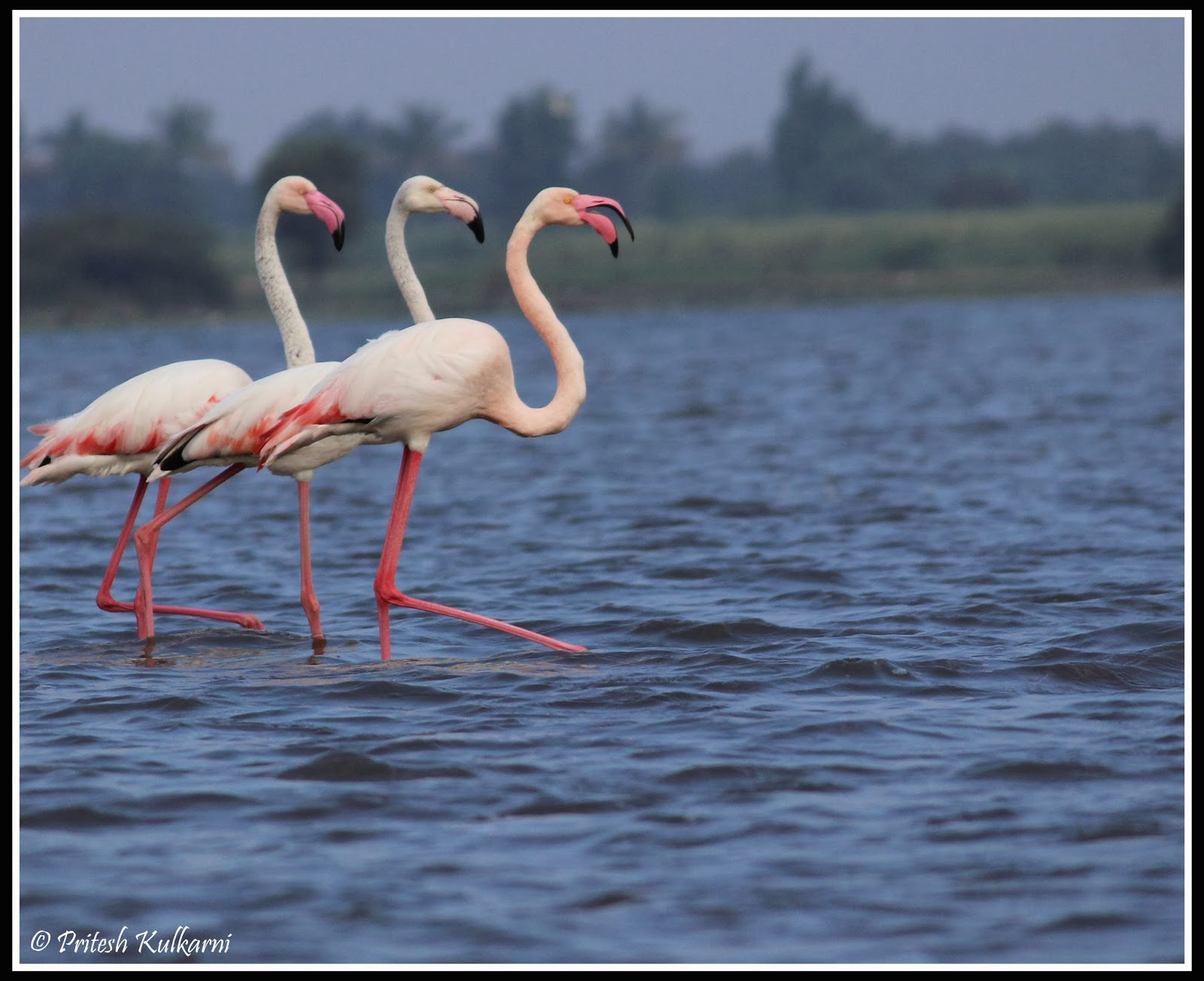 Talk and walk - Greater flamingo