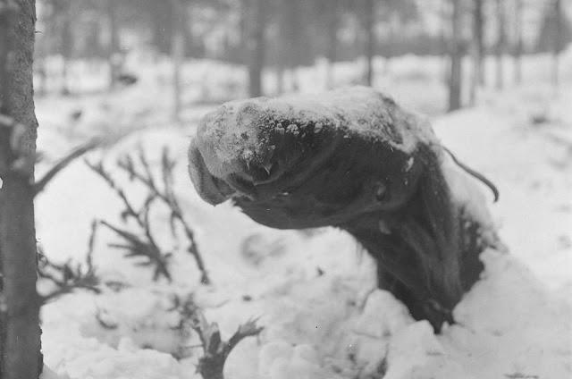 A dead horse lies frozen in the snow near Ruhtinaanmäki, on January 21, 1940.