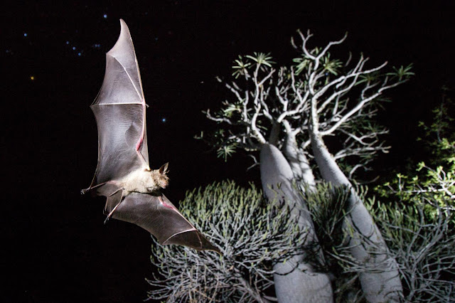 Bat biodiversity is in danger on islands worldwide