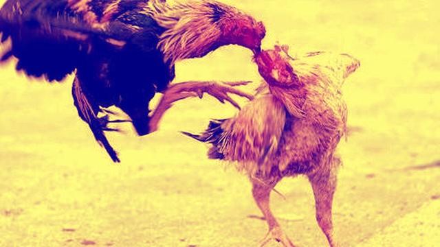 mimpi adu ayam menang dan kalah
