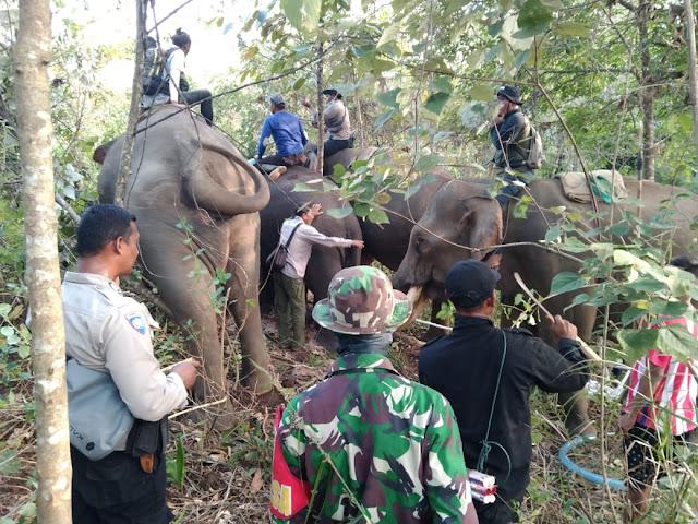 Danramil PRG Dan Petugas Di Bantu Tiga Ekor Gajah Jinak, Giring Gajah Liar