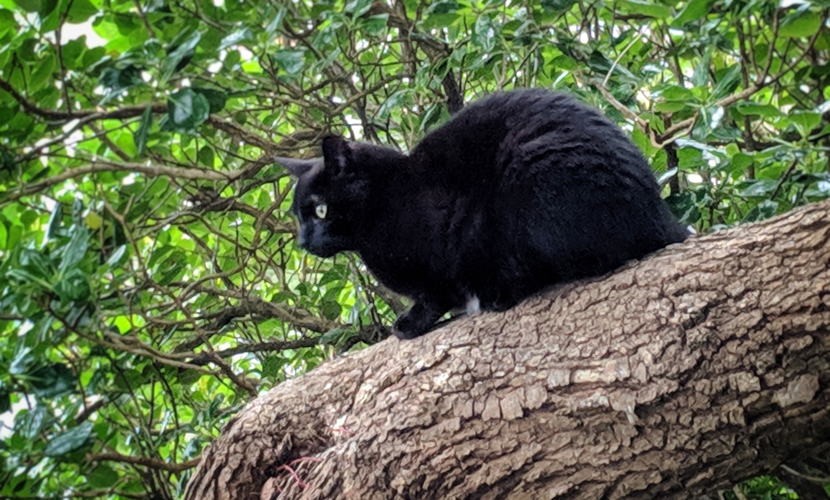 Inky, the cat, up a tree hunting