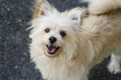 Pomeranian Dog Breed