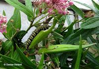 Monarch caterpillar munching on Swamp milkweed seedpod - © Denise Motard