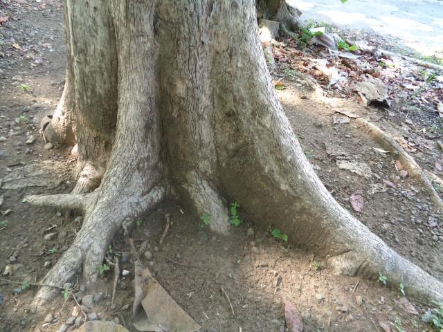 Akar Tunggang Pohon Jati