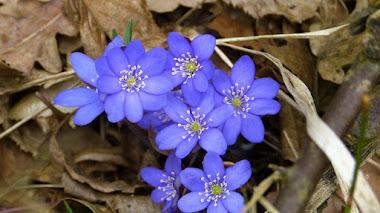 Anemone: un género de plantas que regalan flores a lo largo del año