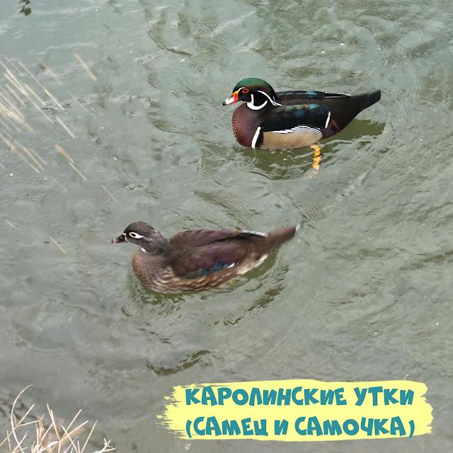 Каролинская утка, Симферополь, Гагаринский парк