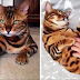 Meet Thor, The Bengal Cat With Purrfect Markings