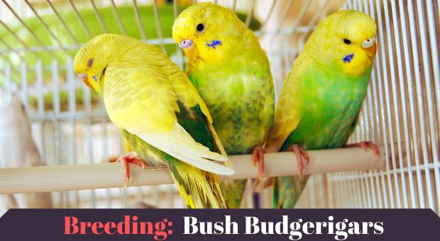 Breeding Bush Budgerigars