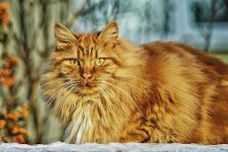Jenis Kucing Norwegian Forest Cat