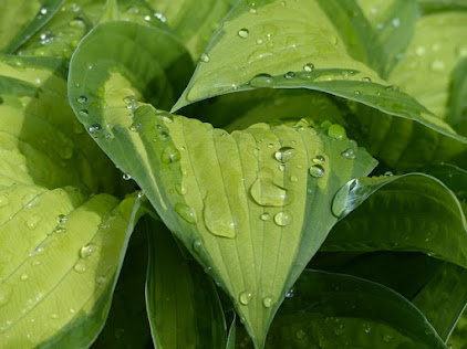 Hosta Leaves in the Sun with Rain Drops on Leaves