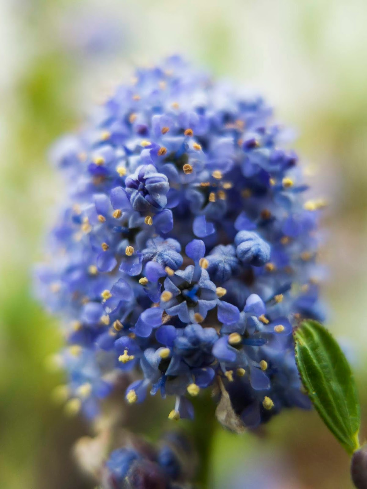 A macro of a cluster of tiny, blue Californian Lilac flowers.